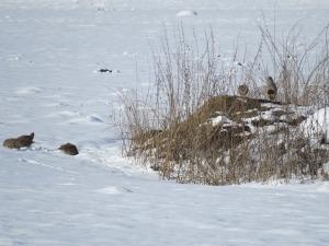 Winterfütterung Rebhühner
