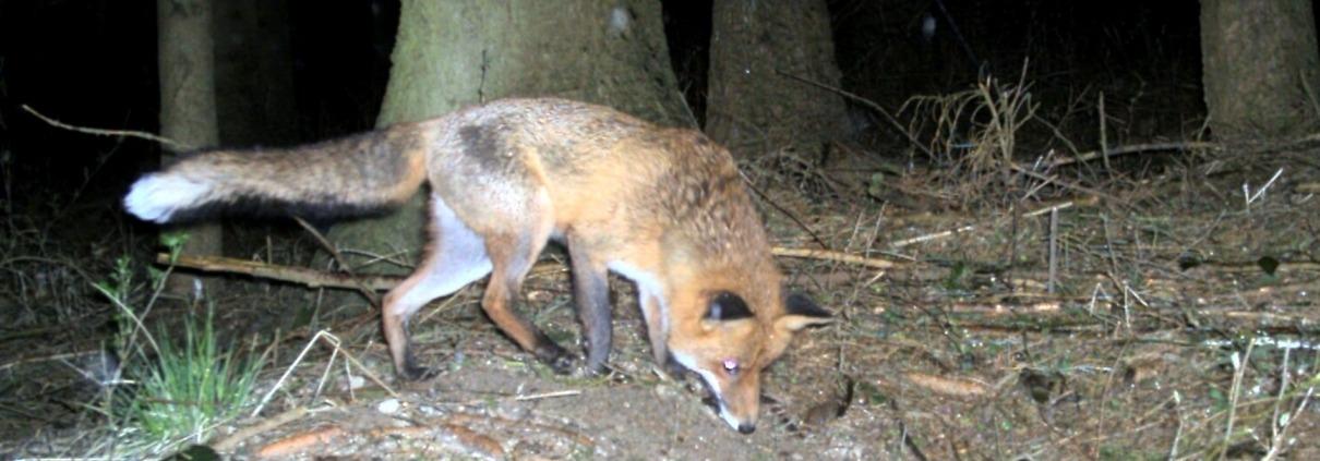 Raubwild Fuchs