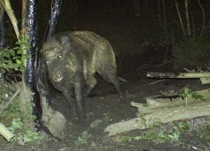 Blog Wildtiere im Sommer Wildschwein