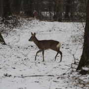 Winterreh_Ch. Böck