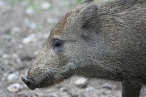 Wildschwein Seitenansicht_Böck