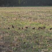 Regionaler Naturschutzplan Rebhühner
