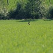 Reh vor Hecke im Sommer_Böck
