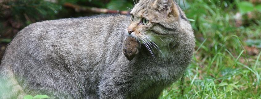 Wildkatze mit Maus_Josef Limberger_Bayrischer Wald